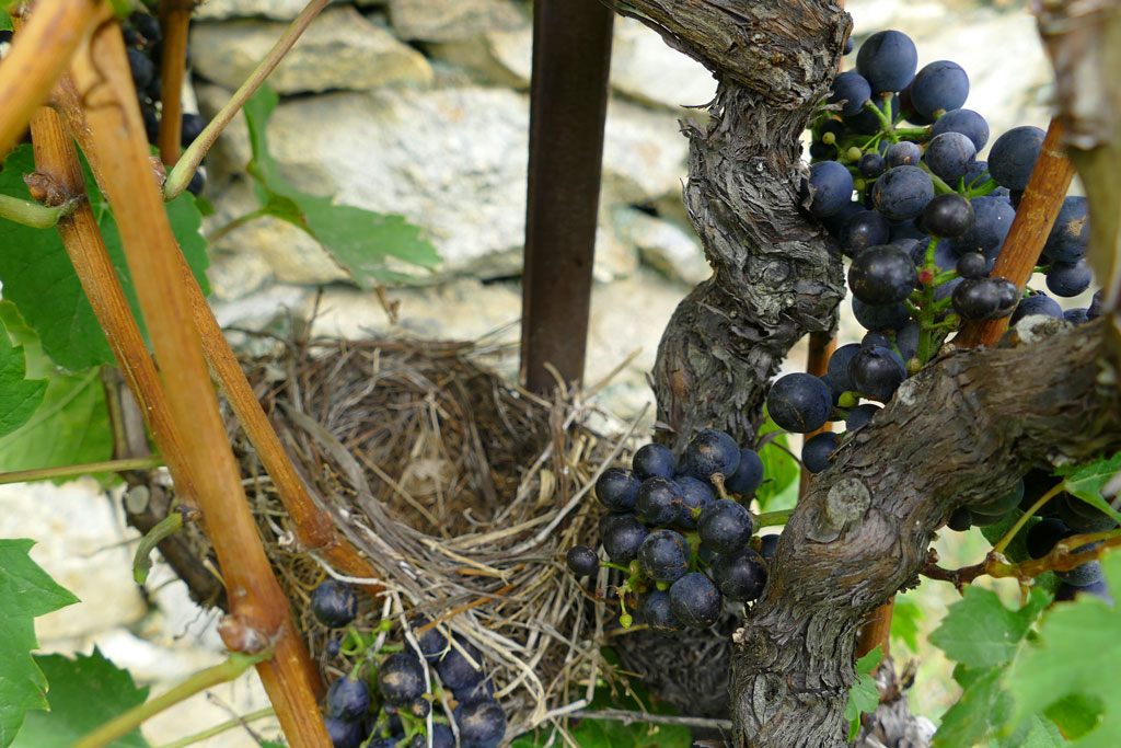 A BIRD'S NEST IN THE VINES
